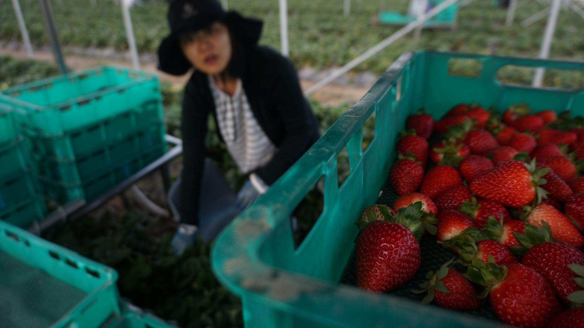 딸기밭에서 일하고 있는 김멋지 ⓒ서른, 결혼 대신 야반도주
